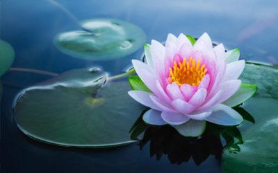 Le lotus, plante sacrée : signification, symboles et comment le cultiver