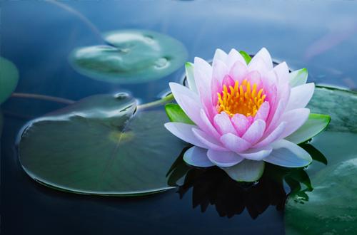 la-fleur-de-lotus